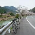 兵庫県篠山付近の県道77号・篠山川沿いの桜ロード