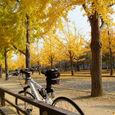 大阪城のイチョウ並木