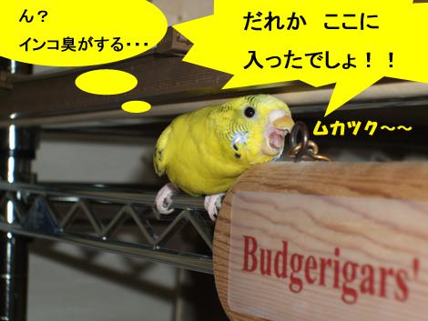 2010_0129budgerigar0005
